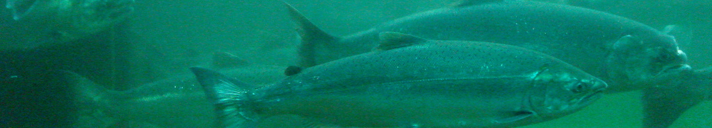 Wild Salmon Fishing header image 4